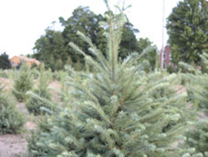 Best Christmas Tree Farms Near Detroit