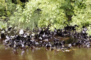Oil clings to plants along the Kalamazoo River after an oil spill of approximately 840,000 gallons of crude oil July 28, 2010 in Marshall. (Credit: Bill Pugliano/Getty Images)