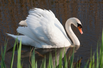 Michigan DNR Rejects Request On Mute Swans Plan – CBS Detroit
