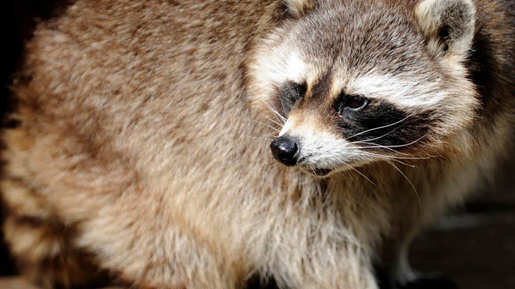 Man Uses Raccoon To Start POV Equipped Car; Raccoon Then ... Raccoon Under Mobile Home on retirement home, websites for iowa modular home, sheetrock installation home,