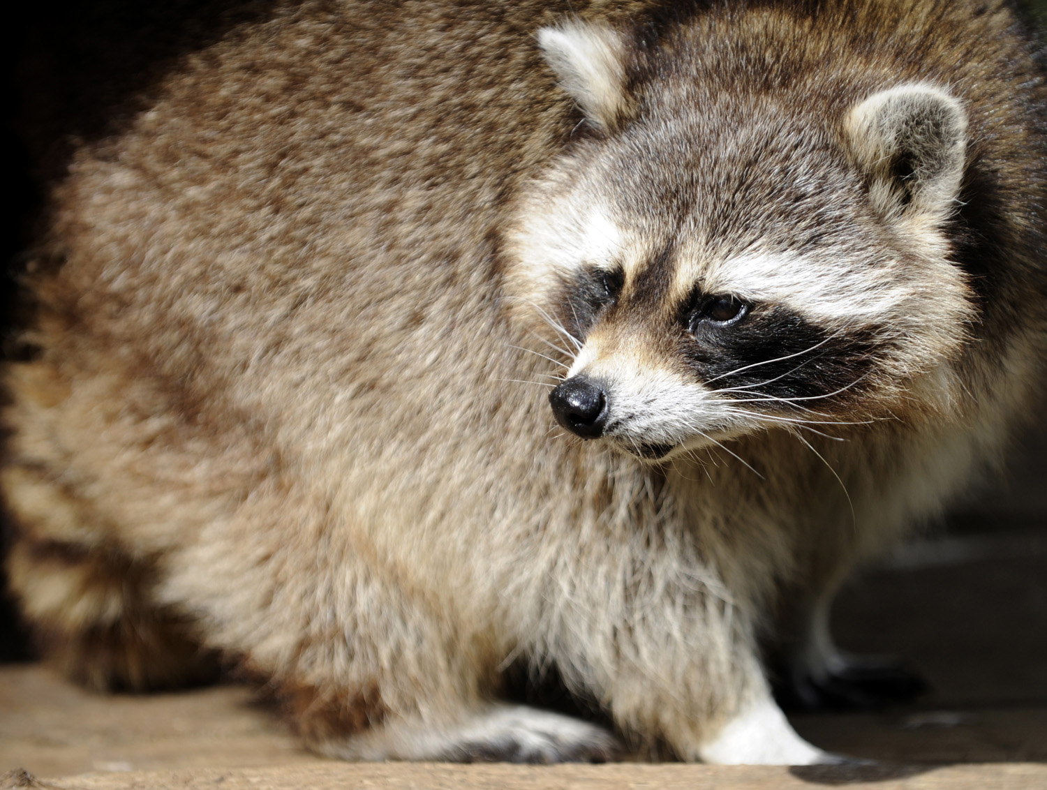 Raccoons For Sale In Detroit Don T Touch Experts Say Video Cbs Detroit