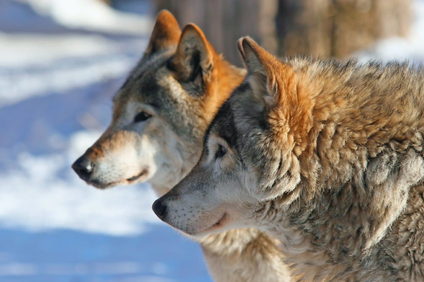 Michigan DNR Preps Recommendation On Wolf Hunting – CBS Detroit