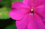 Flower Weather Impatiens (iStock)