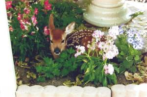 Lilly is seen as a fawn. (Family photo)
