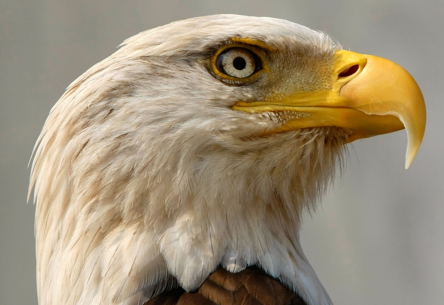 Bald Eagle Euthanized After Being Shot In Northern Michigan