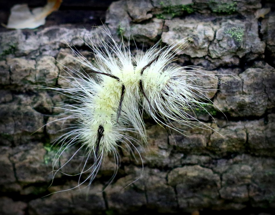 Do Not Touch: Officials Warn Of Poisonous Caterpillar Spotted In Michigan